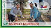 САМАЯ РАННЯЯ КАПУСТА БРОККОЛИ ГРИН МЕДЖИК F1 - YouTube