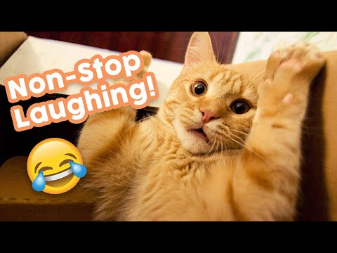 Non-stop Laughing! Best Funny Cat Videos - New 2020! 😺
