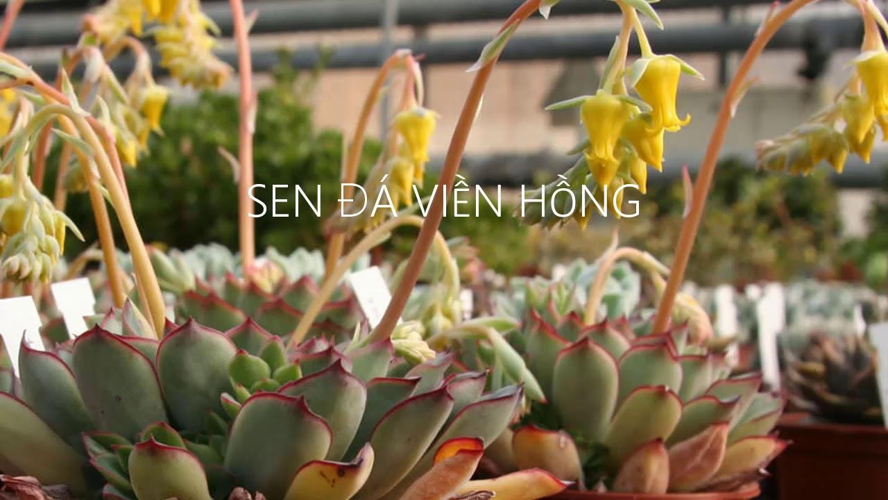 Vuki Garden| Hướng dẫn chăm sóc sen đá | Sen đá viền hồng (take care of Echeveria pulidonis)