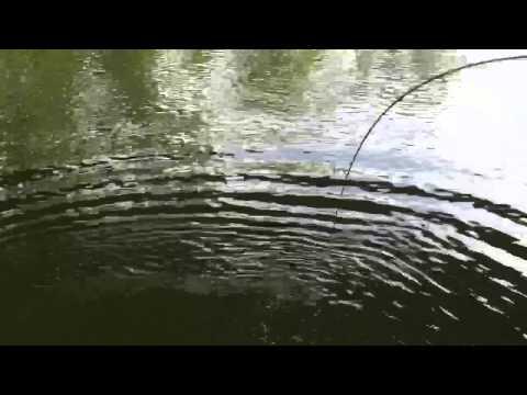"""42"""" cat fish caught in Ohio river"""