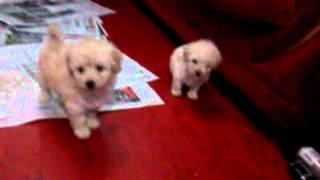 Vendas De Poodle Micro Toy Anão Casal