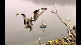 Rachel catches huge fish below nest. Hog Island Ospreys. 16.03 / 25 July 2018
