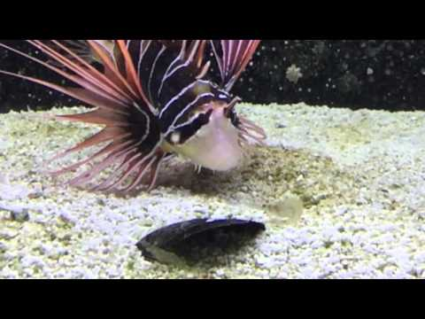 Slow Motion Radiata Lionfish