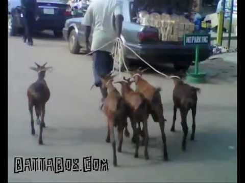 Nigeria: Man Takes Goats For Walk In Lagos