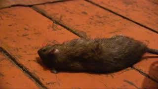 Охота на крыс: Открытый видео урок от Пуси