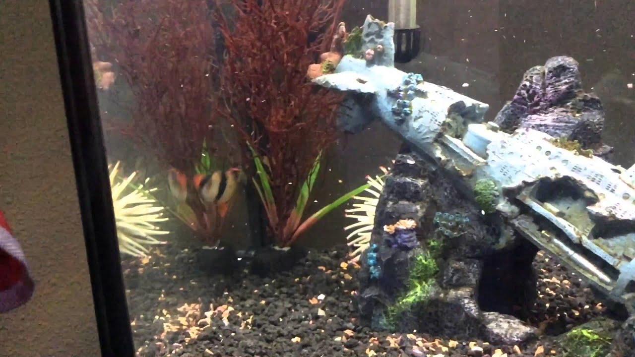 Freshwater aquarium fish rainbow shark - Huge Rainbow Sharks 55 Gallon Fish Tank Showcase