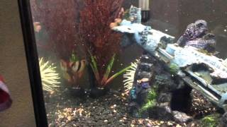huge rainbow sharks 55 gallon fish tank showcase