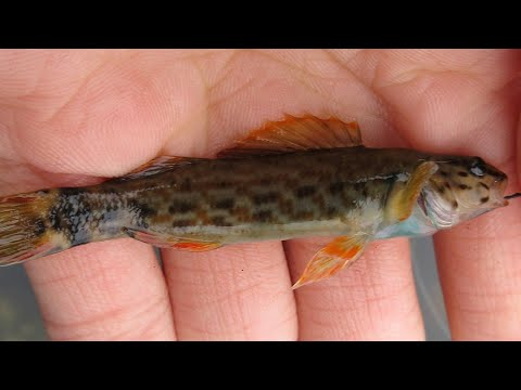 Micro Fishing For Colorful Darters In The Appalachian Mountains | Micro Fishing