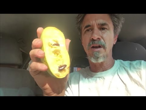 First time eating Pawpaws, Pawpaw Fruit Review