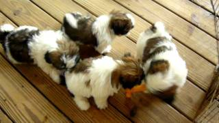 Shih Tzu Puppies In Ga Shihtzuga.weebly.com
