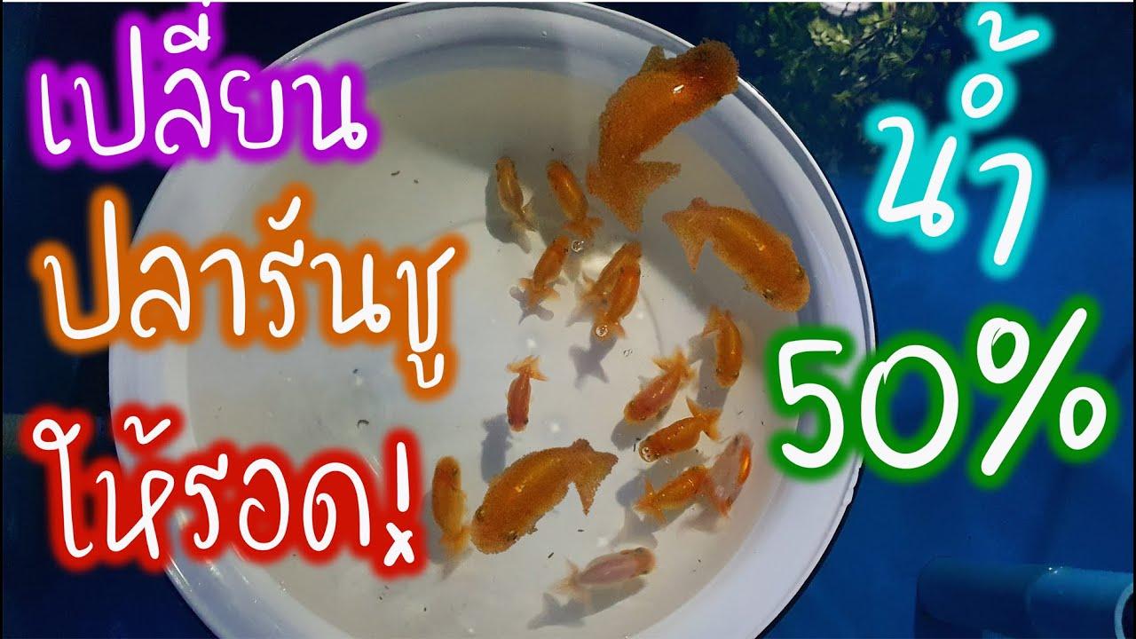 เปลี่ยนน้ำปลาทอง 50% ยังไงให้รอด ปลาทองรันชู EP.131