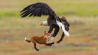 GOLDEN EAGLE HUNTING RABBIT BUT FOX LOST THE PREY | Food In The Animal World