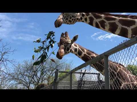 Feeding The Giraffe Herd