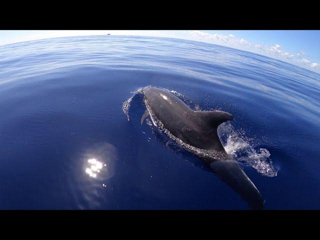 Grands dauphins au large de la Grande Chaloupe - 1er juillet 2020