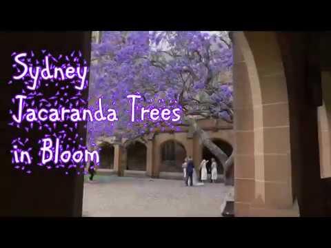 Jacaranda Trees in Bloom - Sydney, Australia