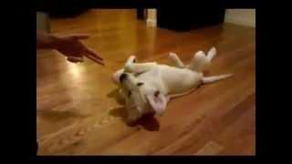The Online Dog Trainer Doggy Dan - Training Your Labrador Retriever Puppy