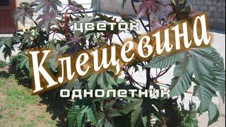 видео Клещевина обыкновенная