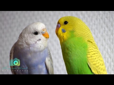 The most romantic birds on earth. kissing, loving, eating.
