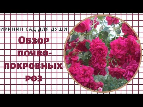 Rose//Обзор почвопокровных роз в моем саду.