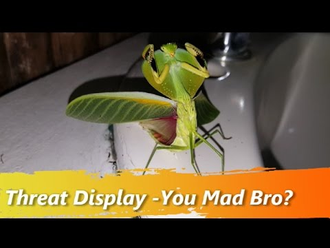 Mantis Threat Display - You Mad Bro?