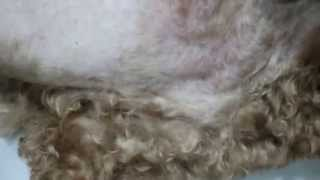 A 7-year-old Poodle Bites Her Front Legs And All Over The Body Pt 2