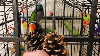 Шишки для попугаев
