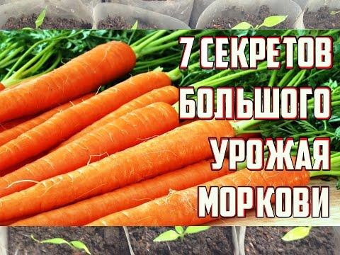 Как правильно посадить и ухаживать за морковью