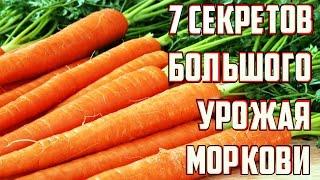 Секреты выращивания крупной здоровой моркови / Важные советы по уходу за морковью