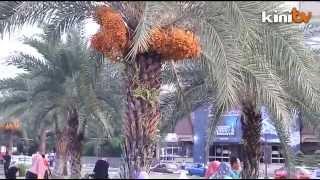 Pokok kurma berbuah di Kelantan