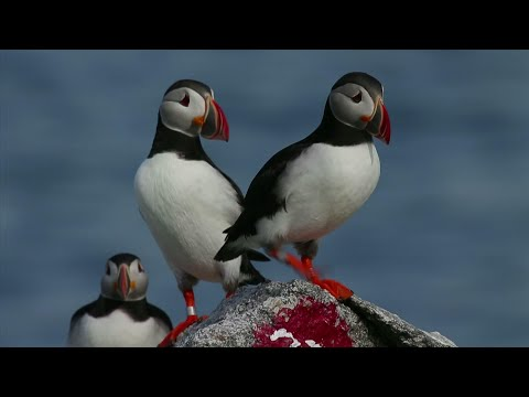 Puffins Fill Up Nesting Islands Despite Challenges