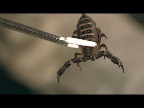 6 Flat Rock Scorpion Facts & Care Tips | Pet Tarantulas