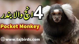 Common Marmoset - Pocket Monkey Pair For Sale