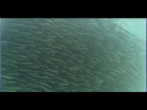 Swimming with lots of Sardines in Tangnan, Panglao, Bohol