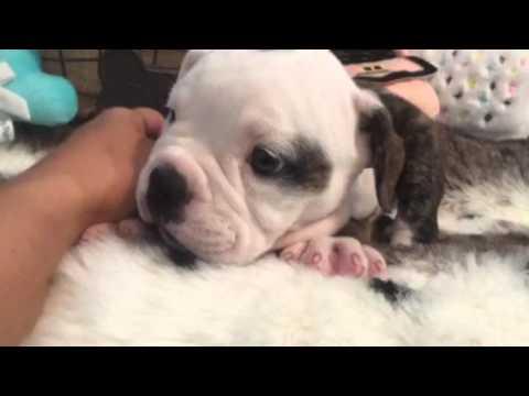 Amazing Australia Chubby Adorable Dog - hqdefault  Perfect Image Reference_661017  .jpg