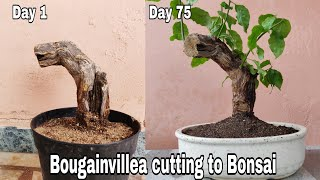Bougainvillea Cutting To Bonsai How To Grow Bougainvillea From Cutting Youtube