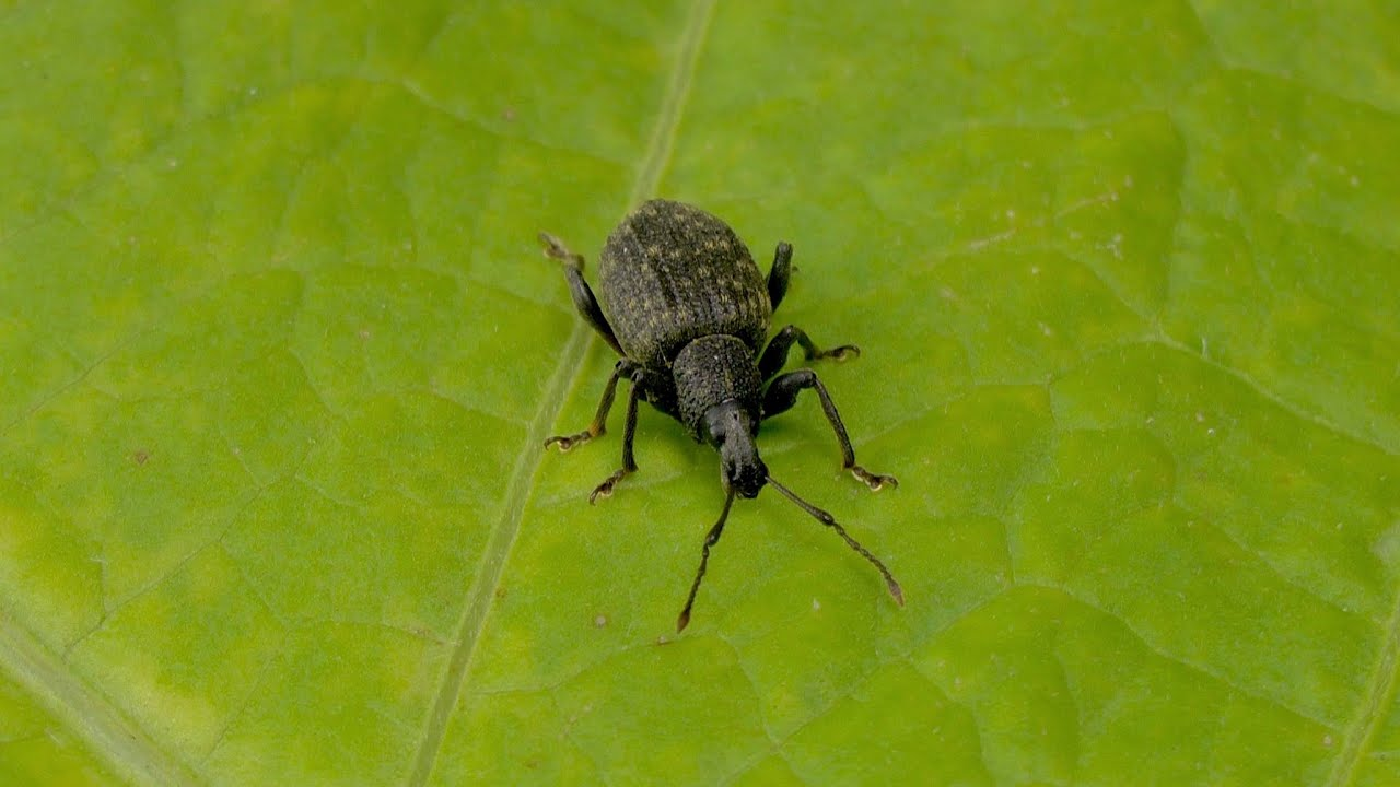 Dickmaulrüssler (schwarze Käfer) biologisch bekämpfen | Philognosie