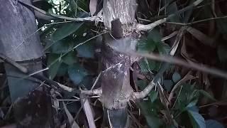 Bambu patillele tumpang sari