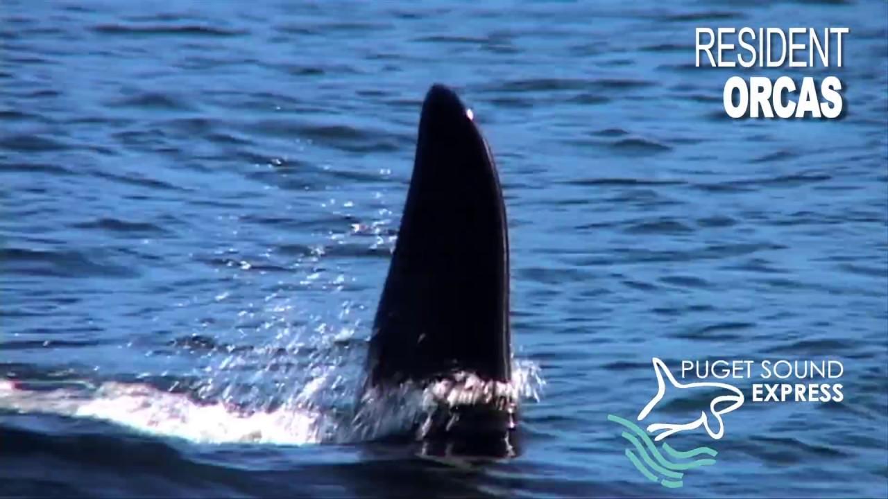 Thunderbull Productions - Orca & Salmon Festival