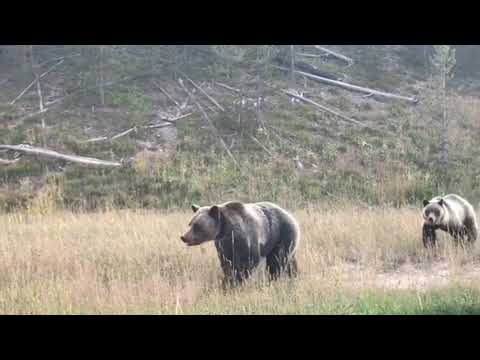 Yellowstone National Park with Bear