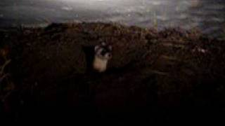 Black-footed ferret in the wild