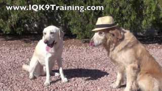 Iq K9 Training | Showtime!  Animal Actor Training!  Fallbrook Dog Training