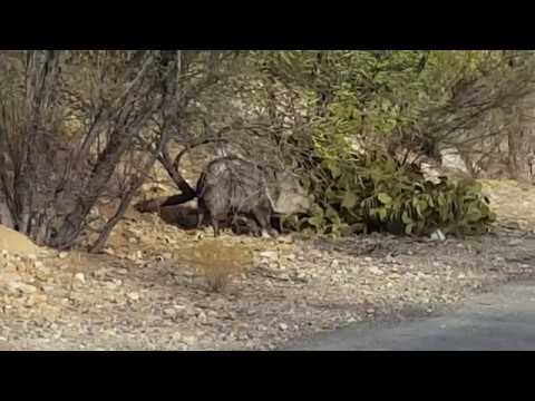 Walked In To A Herd Of Javelina Who Were Feeding Before I Realized It  Green Valley AZ 12312017