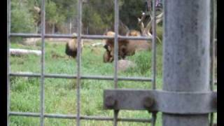 Download Video Lion fight. Four male lions fight at Melbourne Zoo - two perspectives MP3 3GP MP4