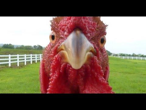 Необычные петухи и курицы (25 Фото) » Триникси