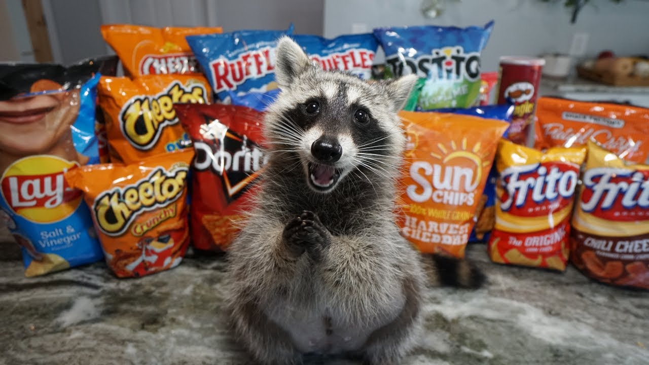 Download Raccoon Tries Most Popular Chips to see Which Chip is the Best
