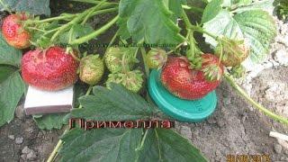 Саженцы клубники в Витебске -крупноплодный сорт Примелла -видео.(Питомник