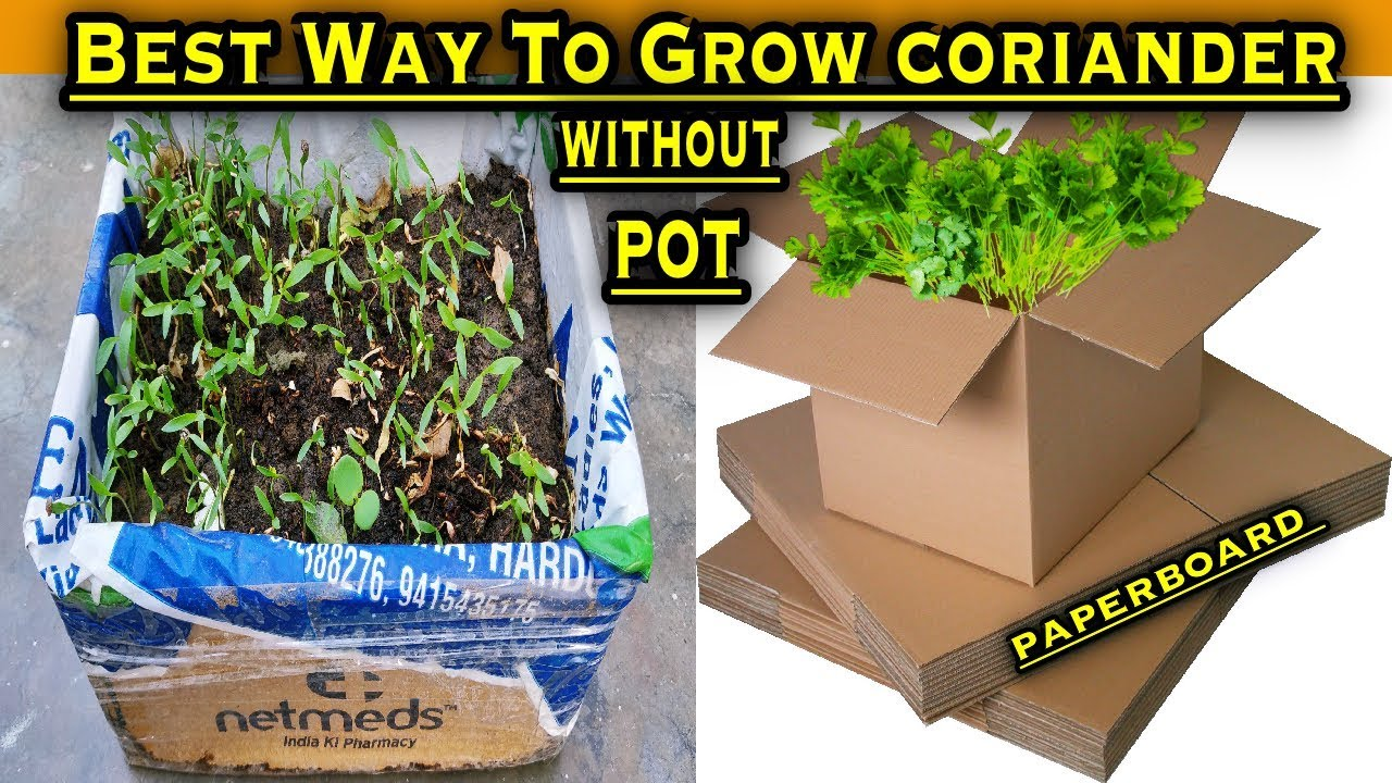 How To Grow Coriander/Cilantro/Dhaniya at Home In Waste Paperboard Box (In  10 days Only)