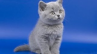 как правильно выбрать породистого котенка?