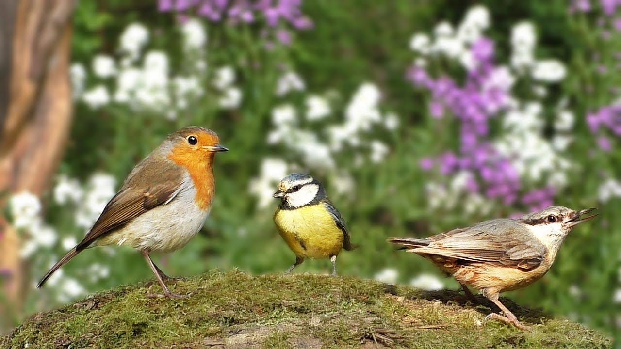 Bird Sounds for Cats : Beautiful Birds in The Flower Garden