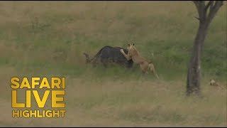 Buffalo Bull Take Down in the Maasai Mara! thumbnail